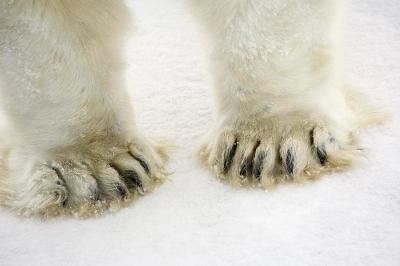 polar bear feet(fineartamerica.com)