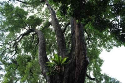 tembusu tree 02
