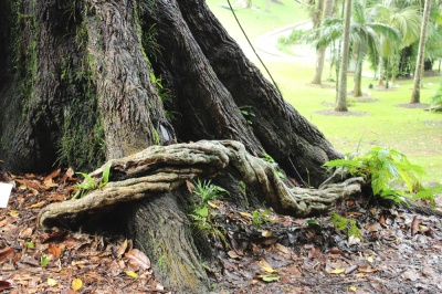 tembusu tree 03