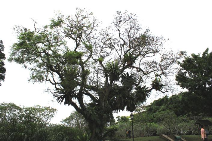saga tree 01