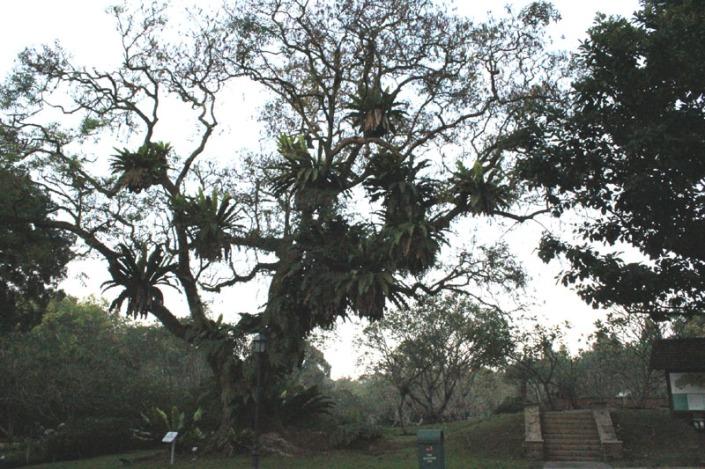 saga tree 02