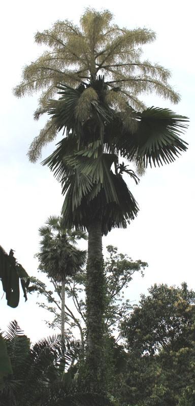 talipot palm 01
