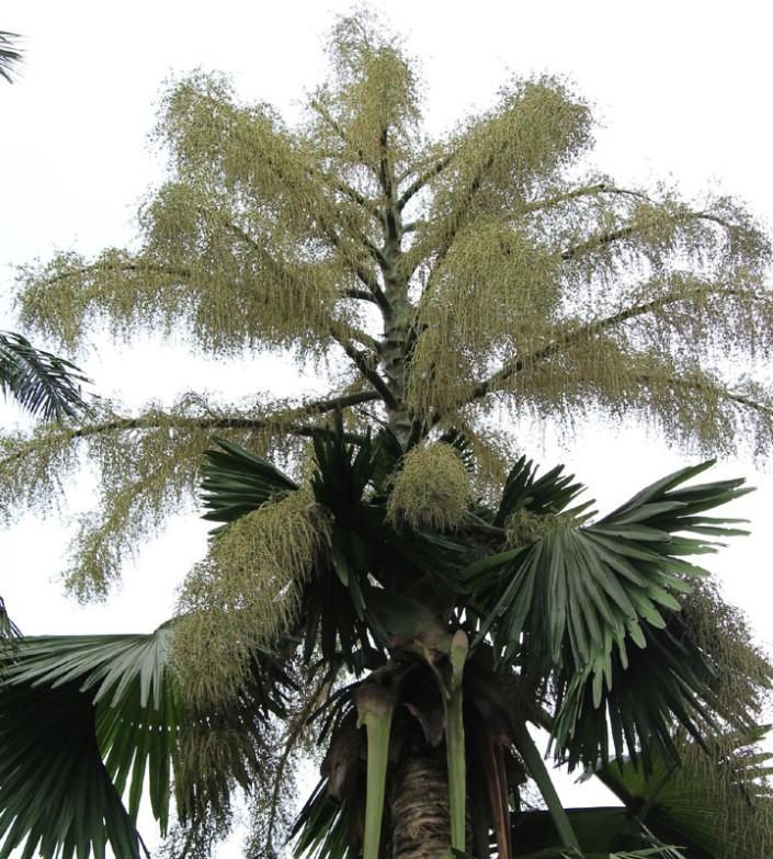 talipot palm 02