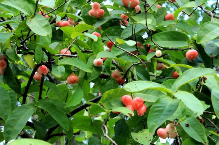 jumbos tree 05