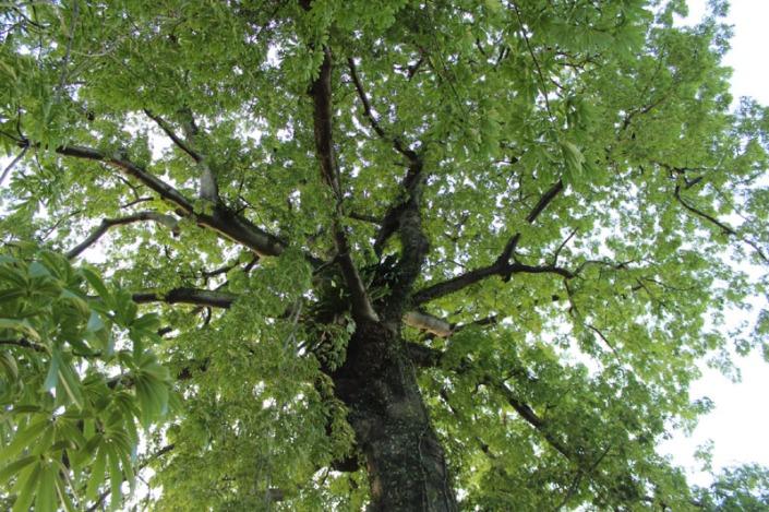 kapok tree 01