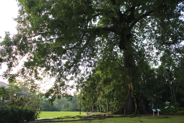 kapok tree 02