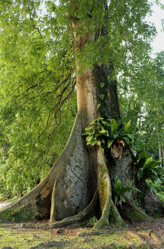Amazing root-way of this Kapok tree « AddGrainOnEarth