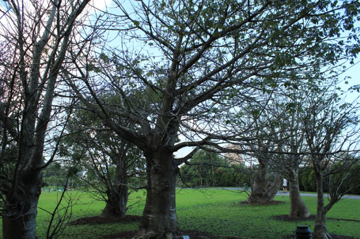 baobab tree 01