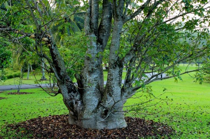 baobab tree 02