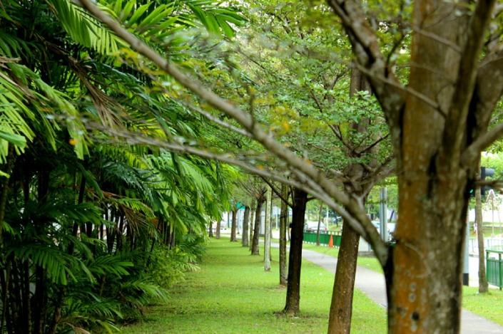 bucida tree 01