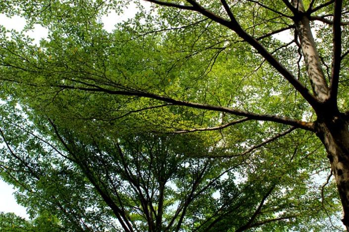bucida tree 02