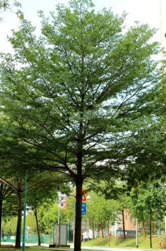 bucida tree 03