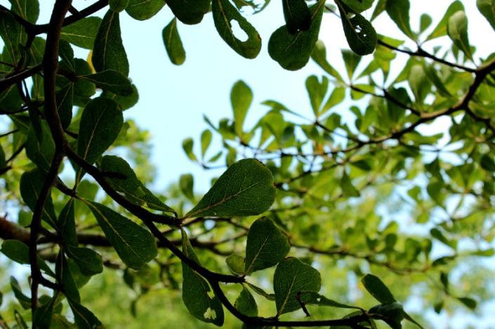 bucida tree 05