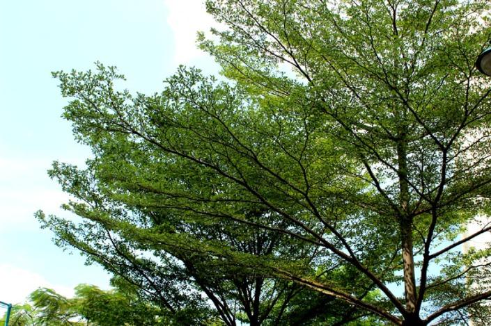 bucida tree 06