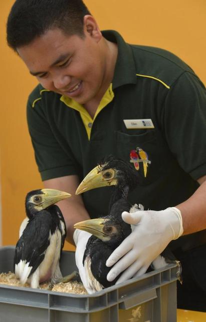 oriental pied hornbills (ST Photo)