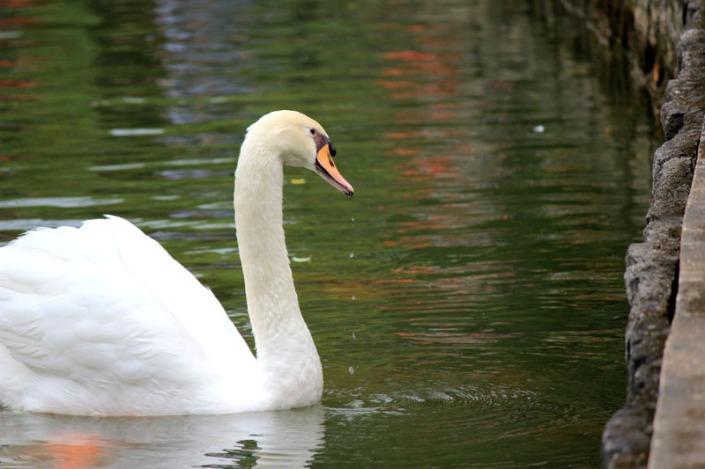 swan lake 06