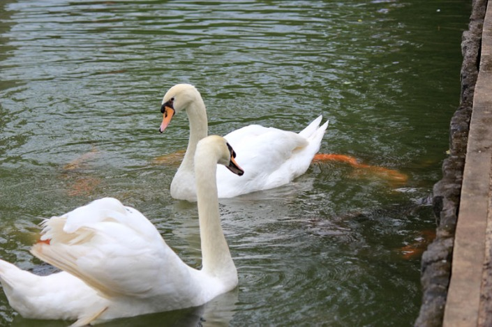 swan lake 07