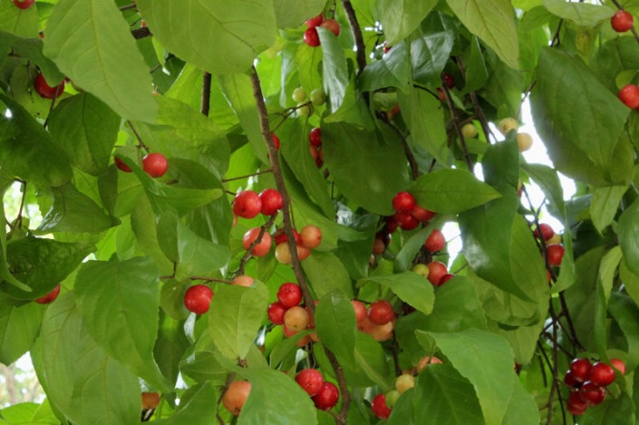 cherish cherry pictures 01