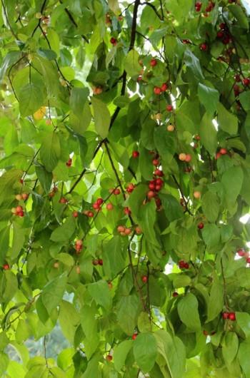 cherish cherry pictures 04