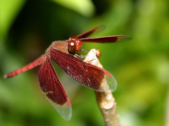 dragonfly(www.zmescience.com)