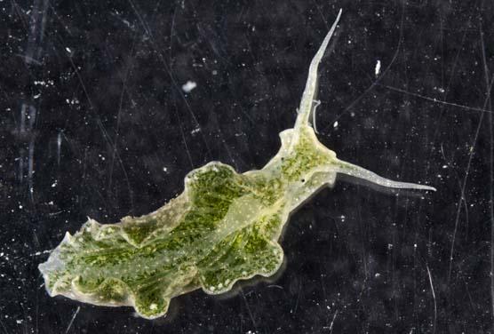 elysia slug