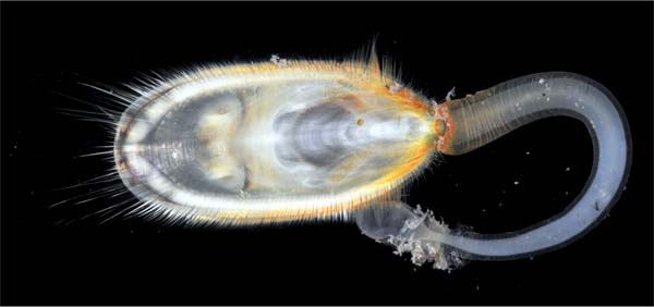 ula anatina, a rediscover