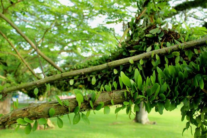 rain tree 03