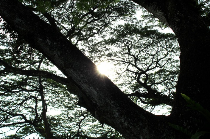 rain tree 06
