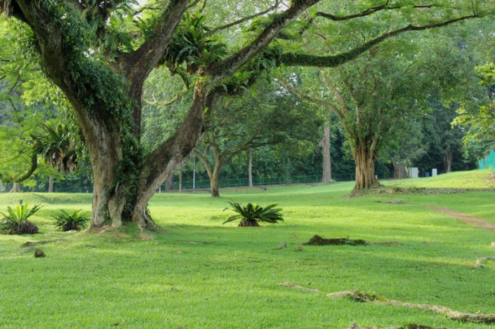 rain tree 07