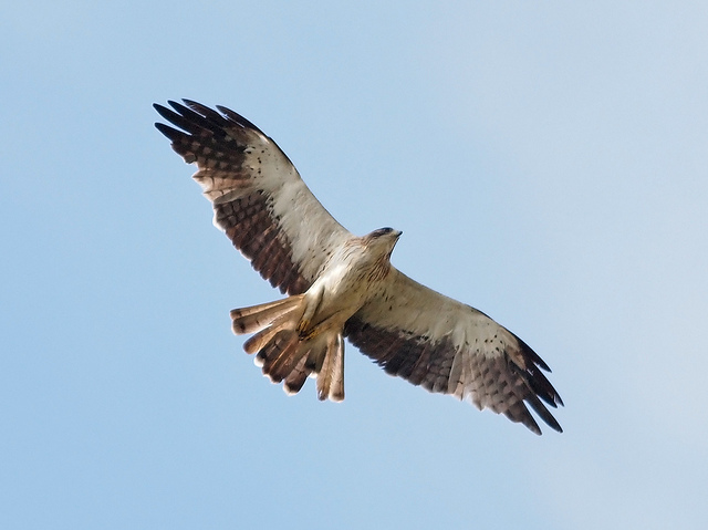 Booted eagle spotted at Seletar By courtesy of www.flickr.com