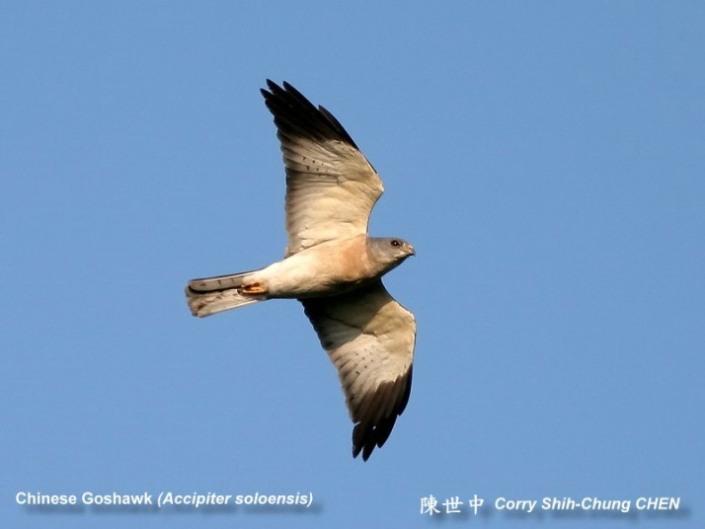 Chinese Goshhawk spotted at Seletar. By courtesy of www.5b.biglobe.ne.jb