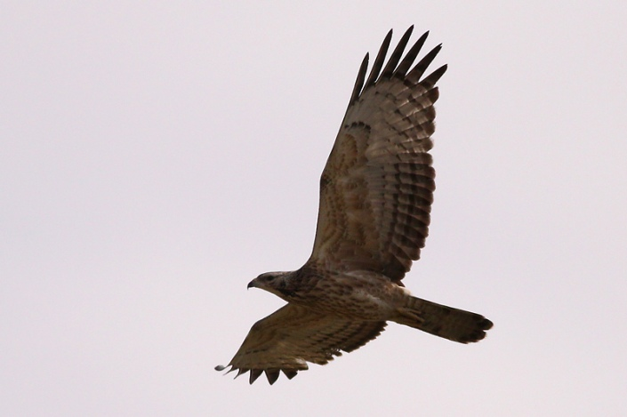 Crested Honey-buzzard spotted at Seletar. By courtesy of wildlife.site88.net