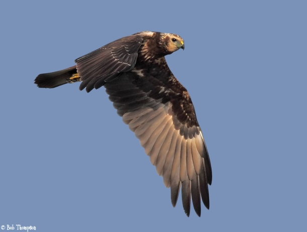 Eastern Marsh Harrier spotted at Changi. By courtesy of ibc.lynxeds.com