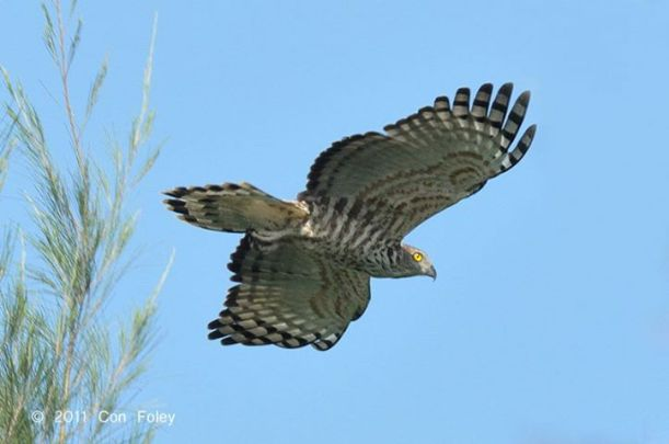 Japanese Sparrow Hawk spotted at Lorong Halus Wetland. By courtesy of birdgroupsingapore