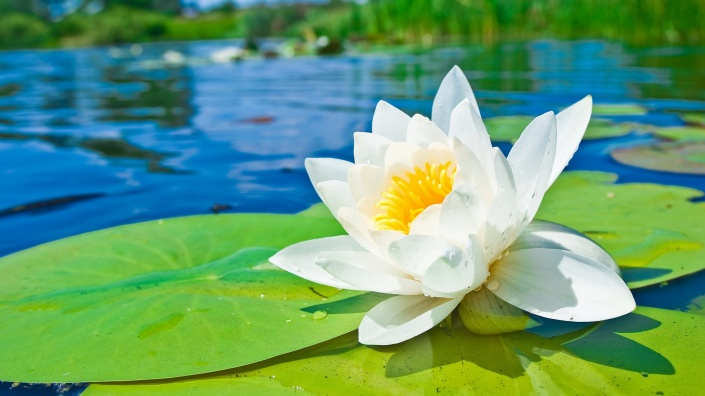 waterlily (www.mrwallpaper.com)