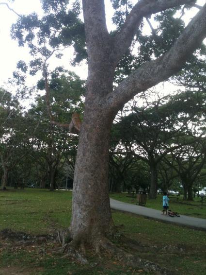 broad-leafed mahogany