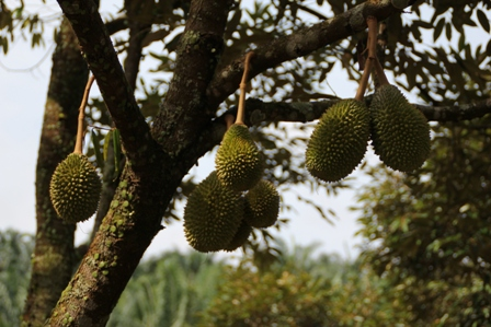 Durian export 3 (www.durianseller.com)