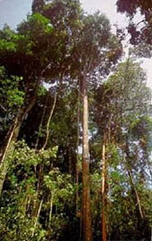 greenheart_trees (en.wikipedia.org)