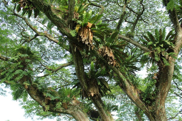 rain tree 01