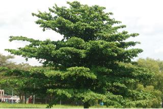 Terminalia catappa - overall, unpruned in a stateland