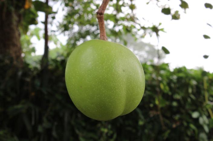 sea apple 01