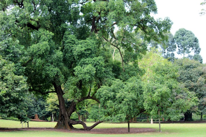 tembusu tree 01
