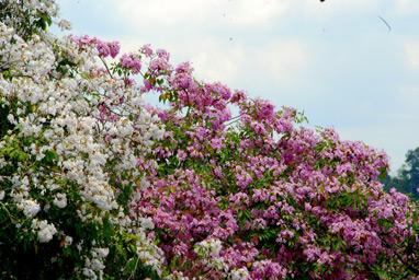 trumpet tree (www.nparks.gov.sg)
